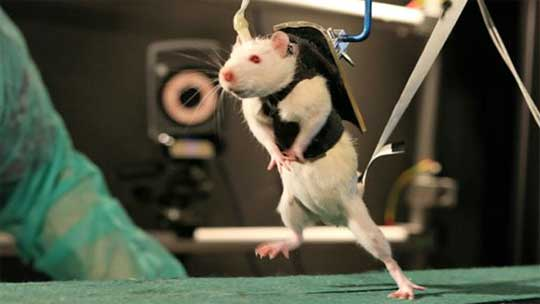 Walking Again After Spinal Cord Injury - Testing on Rats
