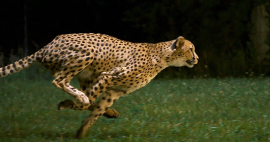 Cheetah Filmed at 1200 Frames per Second