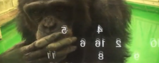 This Chimpanzee Will Beat You at Memory Games