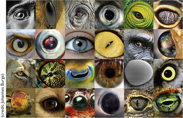 Animal-eyes-fig