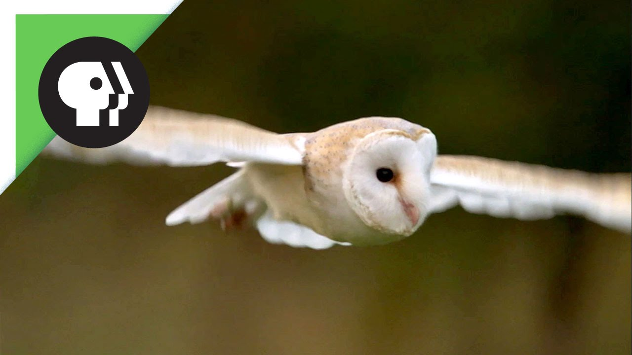 How Quiet Can an Owl Fly? Really Really Quiet!