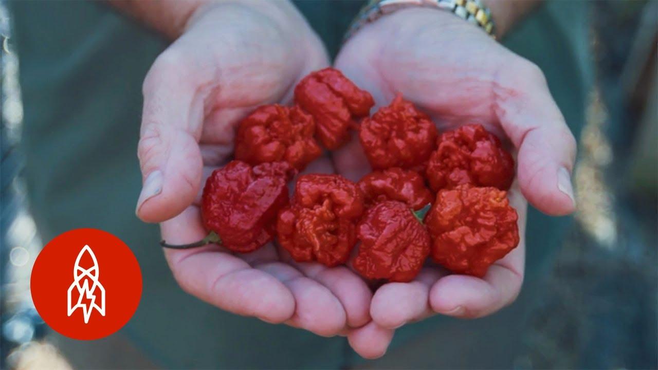 Breeding the World's Hottest Pepper - Carolina Reaper