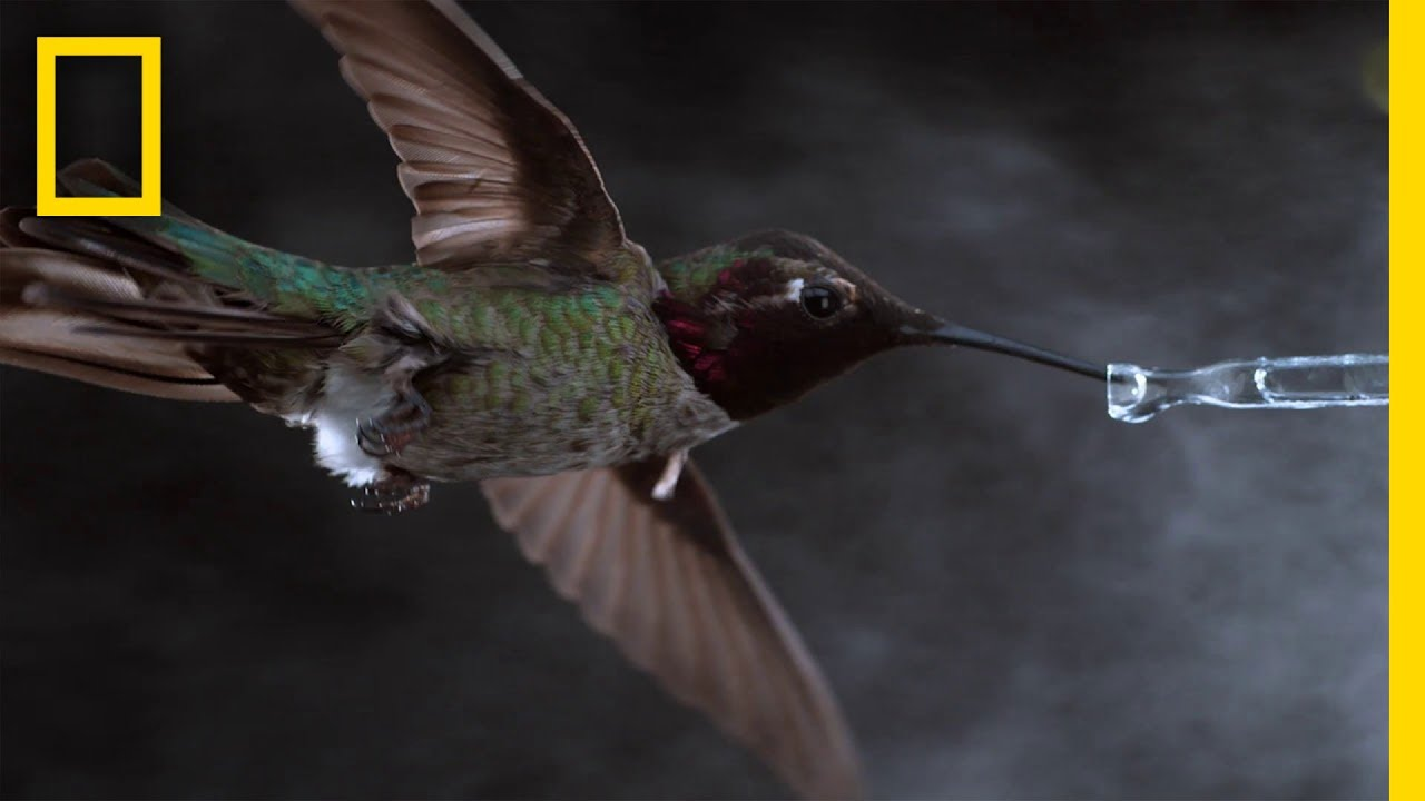 Hummingbird in a wind tunnel is recorded in slow motion